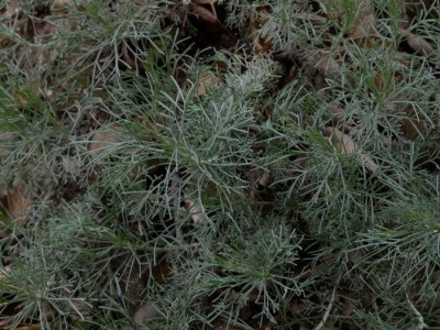 Artemisia_californica_Canyon_Gray_Canyon_Grey-1
