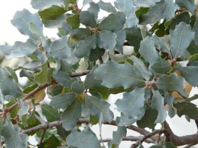 Quercus_douglasii-3