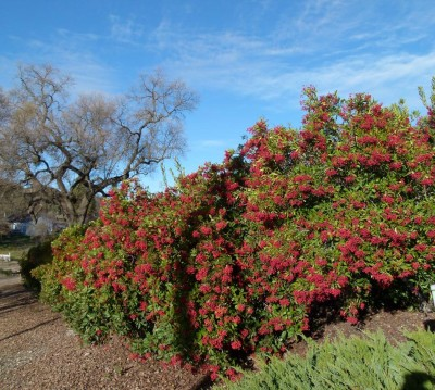 heteromeles-arbutifolia-toyon-screen-hedge