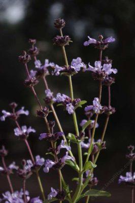 salvia-brandegei-flowers