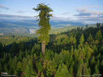 Hyperion-tallest-tree-600x450